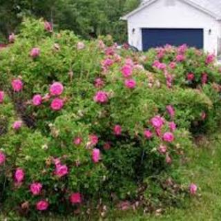 Rosa rugosa  ruba