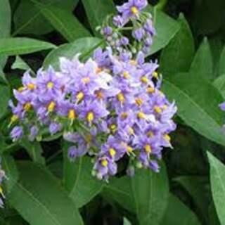 Solanum Glasnevin