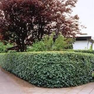 Acer campestre (€150 per 100)
