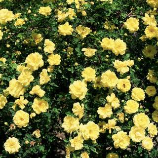 Rosa Yellow Fairy