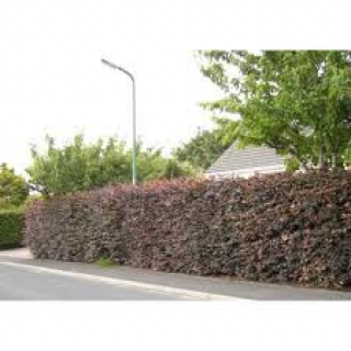 Beech Hedging Purple €260 per 100