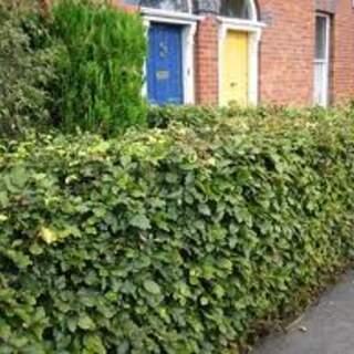 Beech hedging (Small) €120 per 100