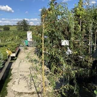 Salix  Chrysocoma