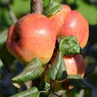 Apple Malus Ballyfaten