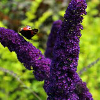 Buddleia d.  black night  (Butterfly Bush)