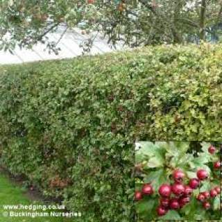 Whitethorn Hedging Large €90 per 100