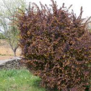 Berberis thunb. atropurpurea €200 per 100
