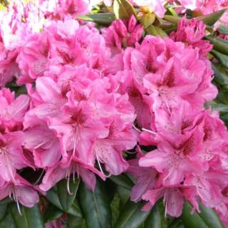 Rhododendron Cosmopoltion