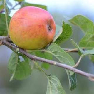 Apple Kerry Pipin