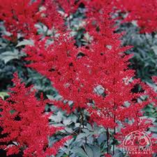 Astilbe  astray red