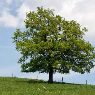 Quercus robur (Common Oak) €100 per 100