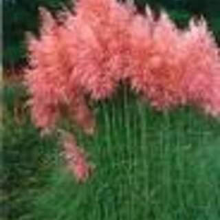 Cortaderia selloana Pink
