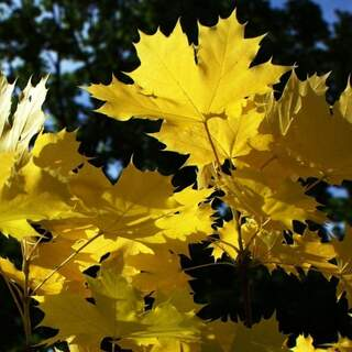 Acer Princetown Gold