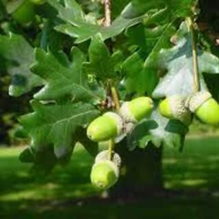 Quercus cerris (Turkey oak) €200 per 100