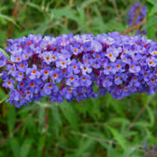 Buddleia d.  nanho blue  (Butterfly Bush)