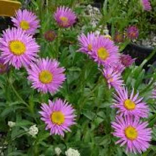 Aster a.  happy end