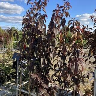 Prunus Royal Burgandy