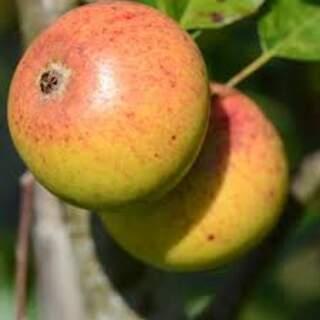 Apple Killkenny Pearman