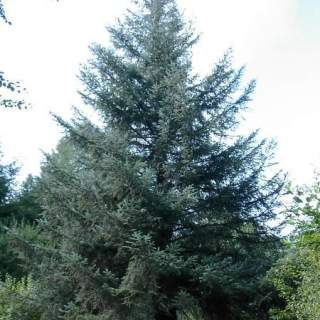 Picea sitchensis (Silka spruce)