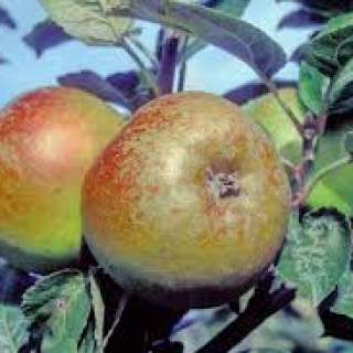 Apple Malus Brown Crofton